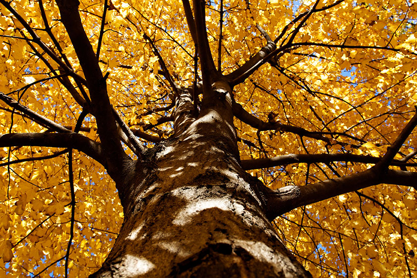 tree gold leaves